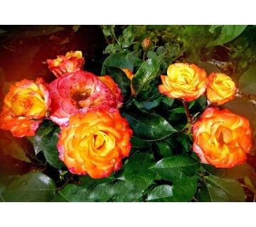 Opvallende roos door de prachtige combinatie van betoverende kleuren. De Rumba roos is een ware aanwinst voor uw tuin.