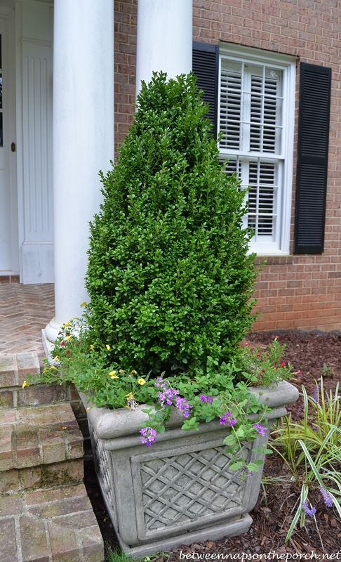 boxwood topiaries traditional