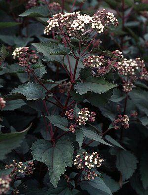 Chocolate snakeroot. It's a great plant; the more shade it gets, the more purple is in the leaves.