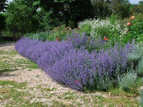 "Catmint?! A new plant suggestion from ""6 Spring Plants You Can't Kill (Unless You Really, Really Try)"""