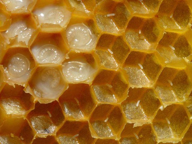 Honey Bee Brood and Larva
