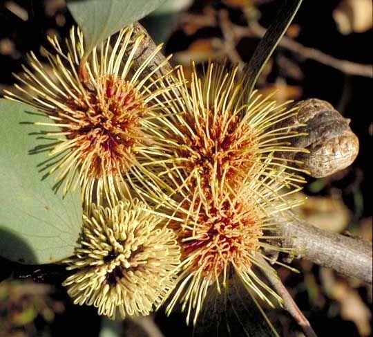 Hakea petiolaris ssp petiolaris