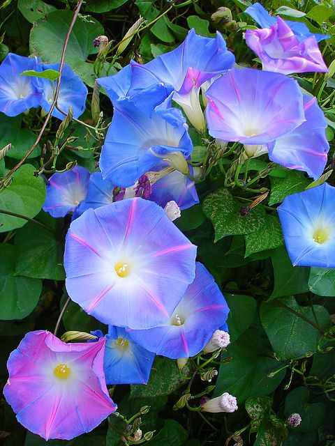 morning glory.  I grew this in hanging baskets looks lovely - next year I will put some up the fence with the willow.