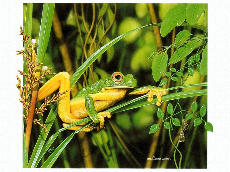 Orange-Thighed Tree Frog, Australian Wildlife