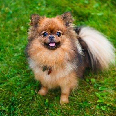 Tag us your photo to be a chance of feature. . . .  #pomeranian #pom #dog #dogsofinstagram #pomeraniansofinstagram #puppy #dogs #pompom #dogstagram #poms #cute #justpomeranians #pomstagram #pet #instadog #pomeranianlove #dogoftheday #doglover #pomsofinstagram #pomeranianworld #pets #instapom #pomeranianpage #love #puppies #petstagram #pomeranianlovers #animals #pommy