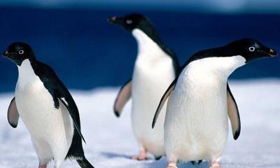 Animals Pinguine