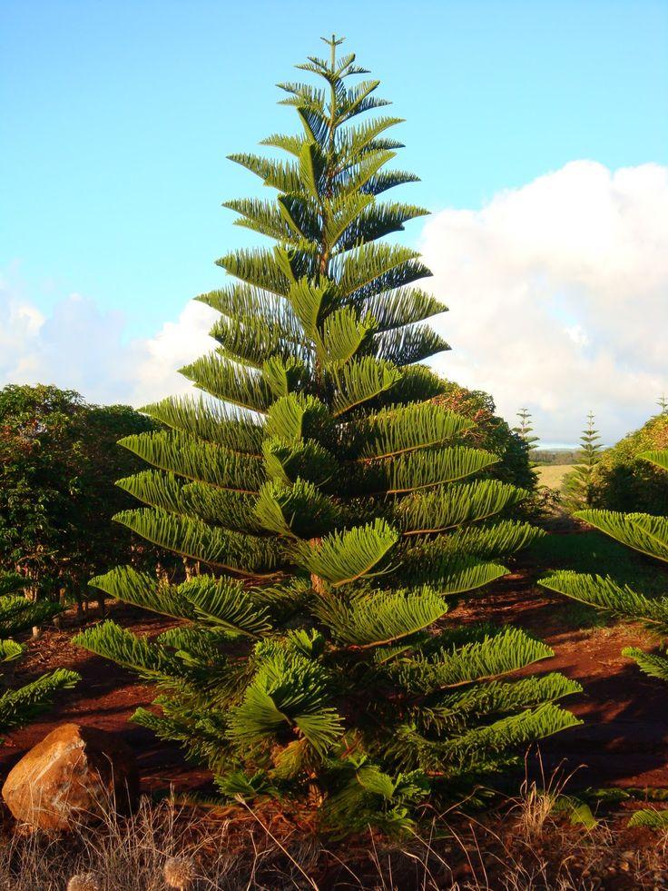 Pine tree hawaii and pine on pinterest for Landscaping rocks daytona beach