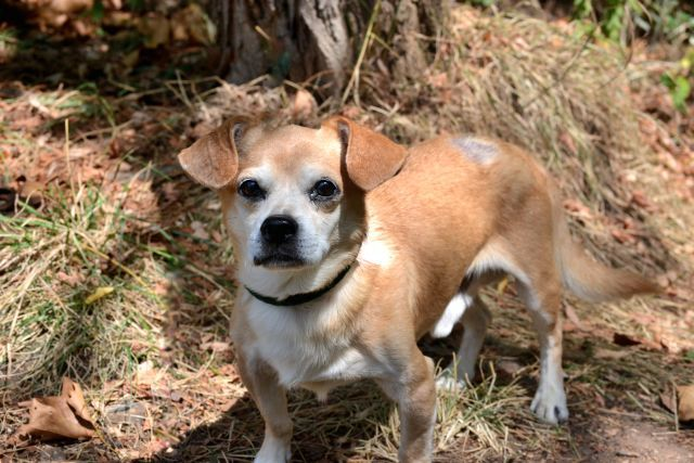 JOJO - A1049233 - - Staten Island  TO BE DESTROYED 08/30/15  SWEET SENIOR CHI MIX NEEDS VET CARE AND COMPASSION ** JoJo is a good hearted twelve pound Chihuahua mix. He is only eight years old. According to staff JoJo was surrendered because his owner was unable to provide vet care for him. JoJo is one of the sweetest little guys and does not mind the staff carrying him around. He has a wound on his back that seems to be healing well, but he needs to see a private Vet. As p