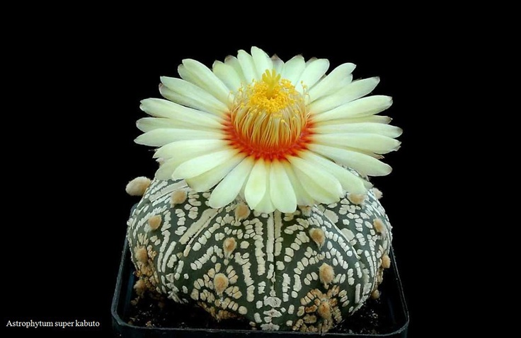 Astrophytum super kabutoBeautiful Flower, Colors Flower, Cacti, Daisies, Astrophytum Asteria, Cactus Flower, Delicious, Beautiful Cactus, Super Kabuto