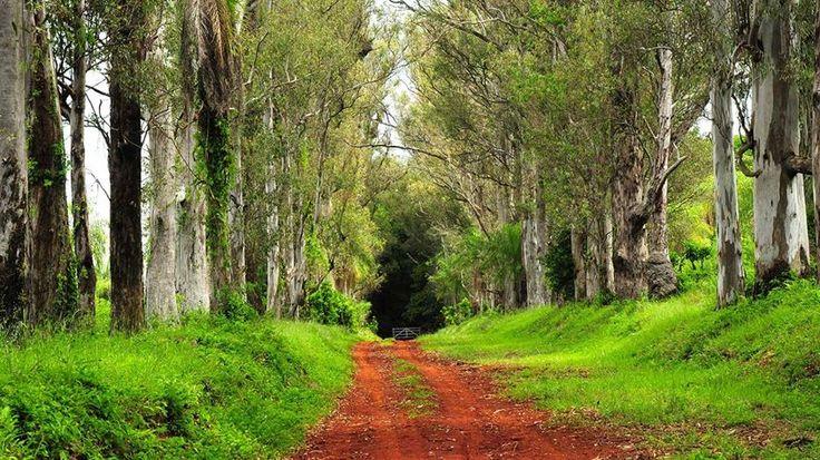 Camino colorado y eucaliptus, Misiones, Argentina