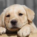Labrador retriver – umiljat i vrlo popularan pas