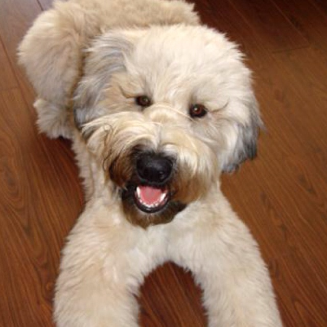 21 Best Images About Soft Coated Wheaten Terriers On