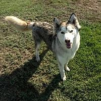 Pictures of Harper a Husky for adoption in Lathrop, CA who needs a loving home.