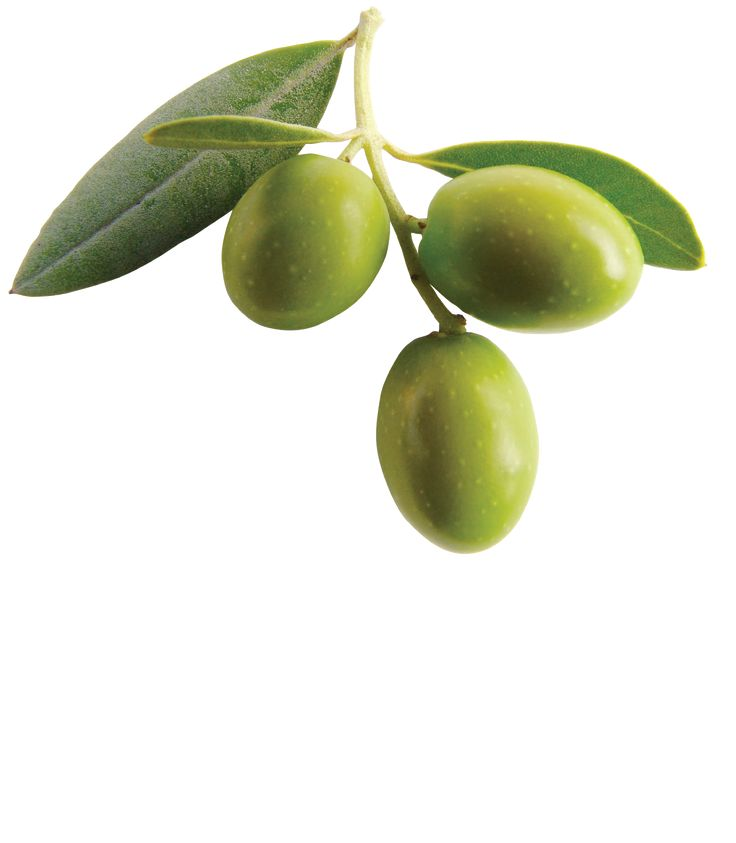 10 Images About Olive Trees On Pinterest Olive Tree