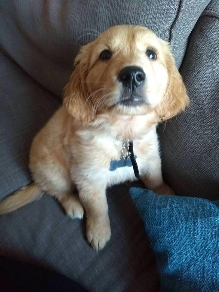 My Friend Just Got A Golden Retriever Puppy Her Name Is Rosie