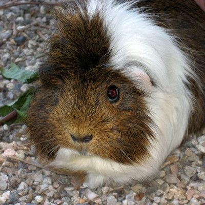 What for are guinea pigs mainly bred in South America? Food! Guinea Pig is traditional food in the Andes. Peruvians consume an estimated 65 million guinea pigs each year. Since the 1960s, efforts have been made to increase consumption of the animal outside South America.