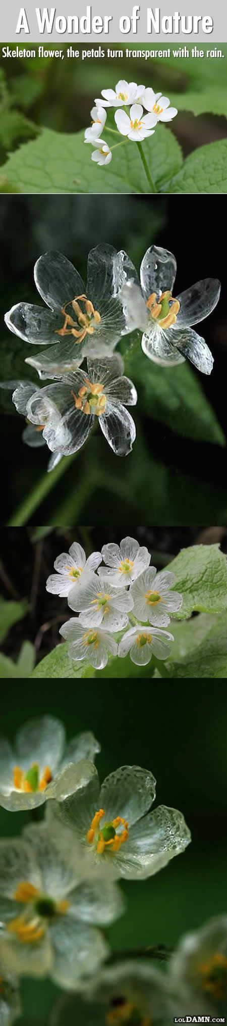 "csontváz virág ""Diphylleia grayi"" (Skeleton flower) is the only flower grows in China and Japan.Their petals turn transparent with the rain. - (""Diphylleia grayi"" - I suoi fiori diventano trasparenti quando piove!)"