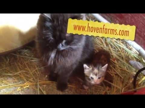 May 10, 2013- Video- Fun at the Farm - Kittens Part 2. #cute #kittens www.hovenfarms.com