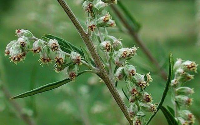 Artemisia Vulgaris, Annua e i loro benefici