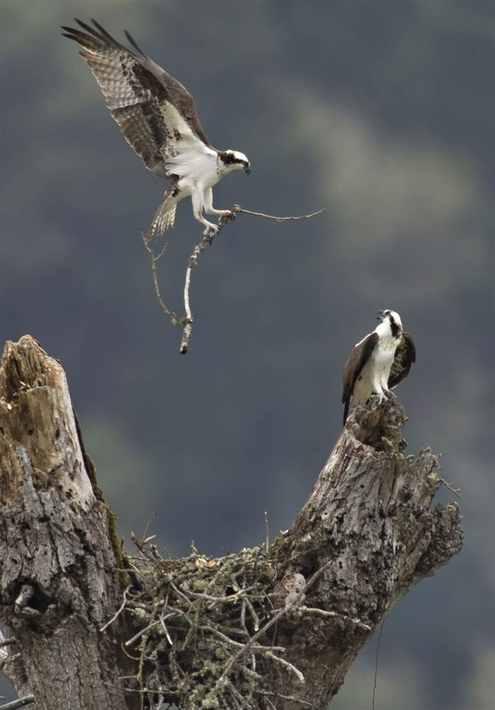 An osprey grasps a stick to add to its nest high on a dead for Fish hawk bird