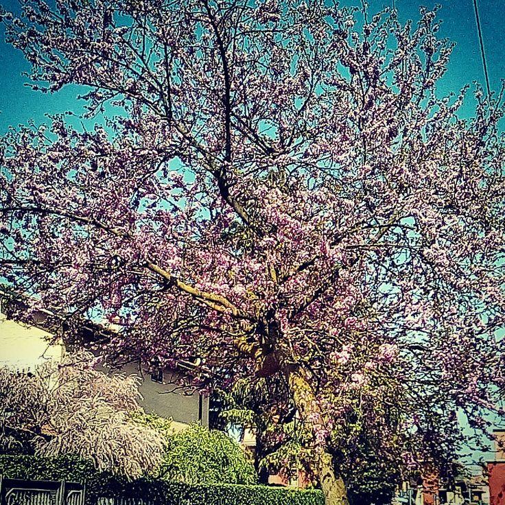 Alberi in fiore 🌲🌳🌲🌼🌸🌼