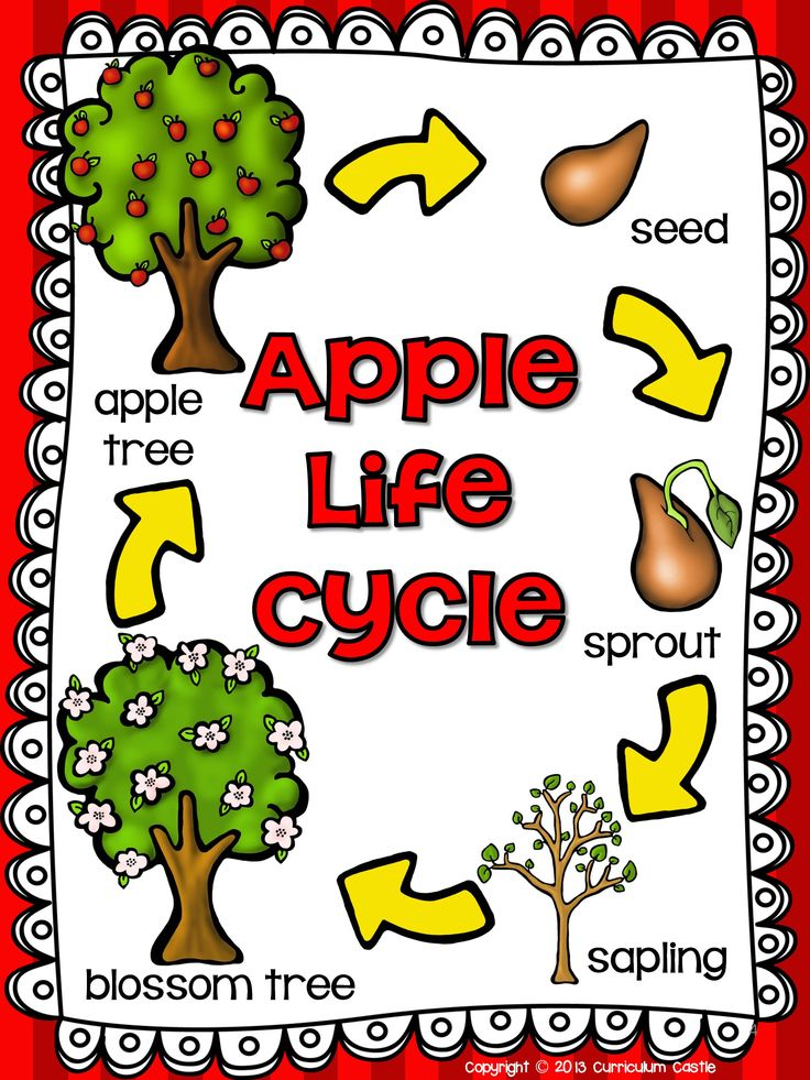 It's just a photo of Nifty Apple Life Cycle Printable