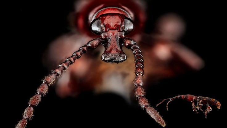Les yeux du charançon du chêne, cet insecte xylophage
