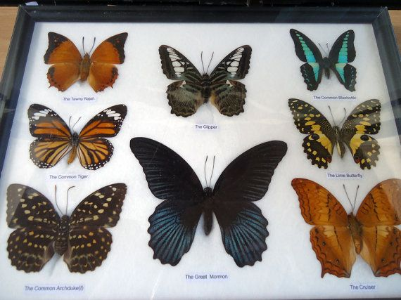 11 best Framed Insect Displays images on Pinterest | Bugs and ...