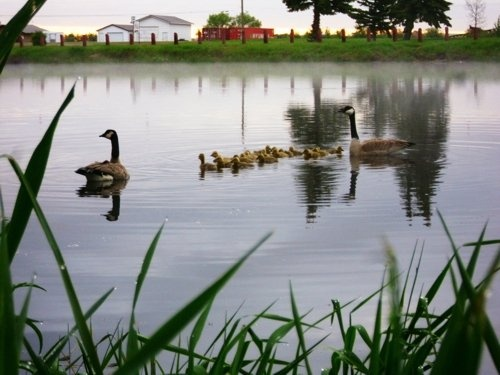 Little Family of Ducks out Early in the Morning