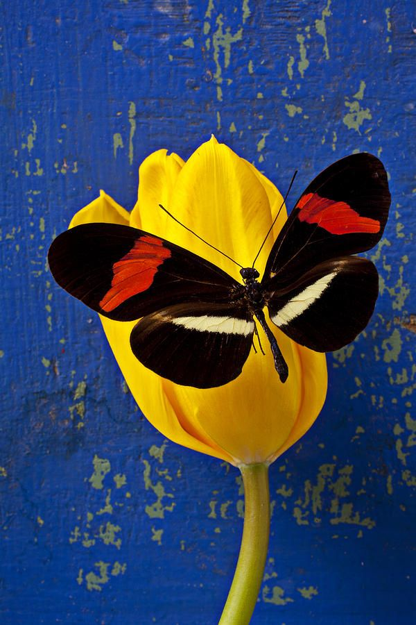 Yellow Tulip With Orange And Black Butterfly,  I like this one better because there is only one tulip and one butterfly...sort of illustrates both you and Richard's struggles and also your love for each other.  ox