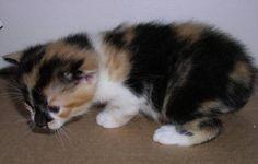 manx kitten, calico