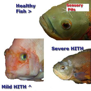 Examples of hole in the head in fish hith sensory pits for Examples of fish