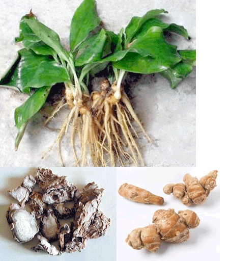Kencur (Indonesia) = Kaempferia galanga, aromatic ginger, sand ginger, cutcherry or resurrection lily, is a plant in the ginger family. The plant is used as a herb in Indonesian food and especially in Javanese and Balinese cuisines.