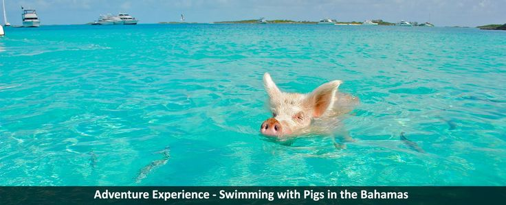 Adventure Experience - Swimming with Pigs in the Bahamas - https://traveloni.com/blog/adventure-experience-swimming-pigs-bahamas/ #caribbeanvacation #bahamas #excursions #adventure