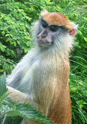 patas monkey - Google Search