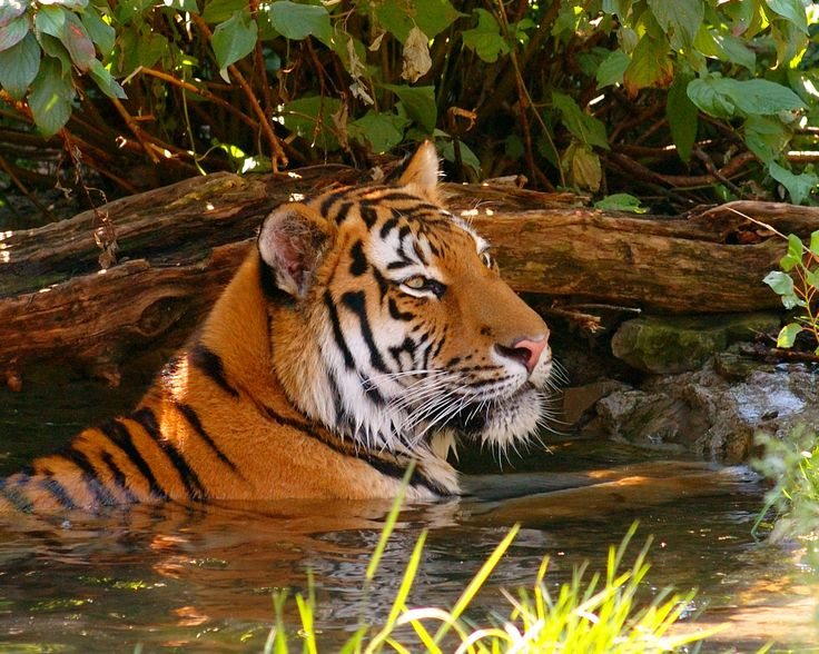 Love Animals Tigers Human Dude 1920x1080 Wallpaper Animals: 151 Best Jungle Animals Images On Pinterest