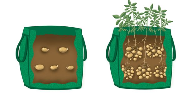 Grow Your Favorite Potatoes In a Container or Bag  http://www.survivorninja.com/grow-your-favorite-potatoes-in-containers/