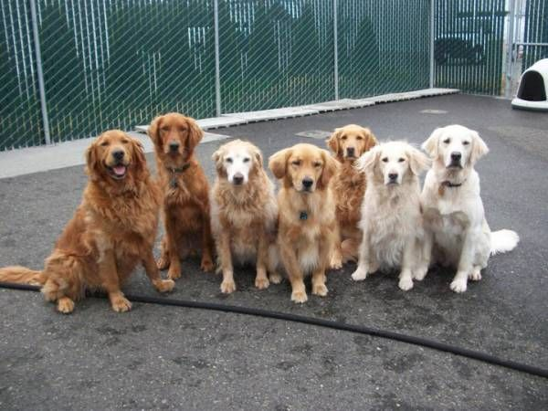 The color spectrum of Golden Retrievers, --but they can be way more red than that too.