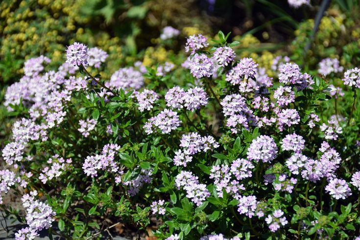 Health benefits of thyme and its essential oil chemotypes