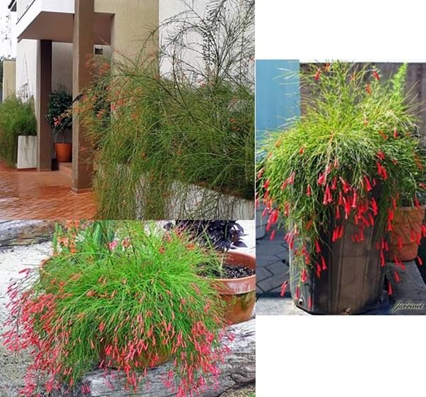 Russelia, planta que é garantia de beija-flores no jardim!