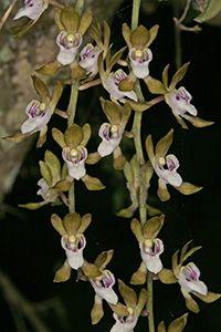 Sarcochilus australis
