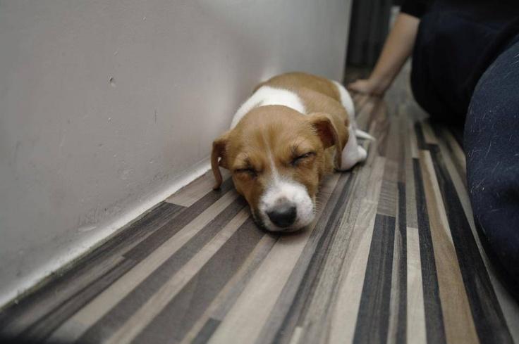 Jack Russell Terrier Puppy Zoe