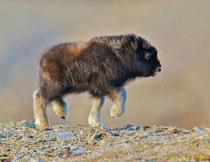 just in case you haven't seen a baby bison before...