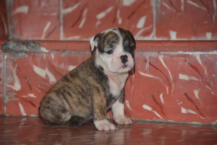 Cachorrita Bulldog Ingles de 2 meses. 26 mil pesos a tratar. Aprovecha y dale a tú hijo un excelente compañero y amigo. Se entregan con pedigree, chip, tatuaje, carnet de vacunas y desparasitado. Hacemos envíos a cargo del comprador. Tenemos varios ejemplares y precios. Manda inbox o al Whatsapp 4735603469.
