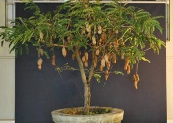 Thai Sweet Tamarind Seeds Grow In A Potas A Bush Or Tree Etsy Bonsai Menanam Bunga Taman Buah