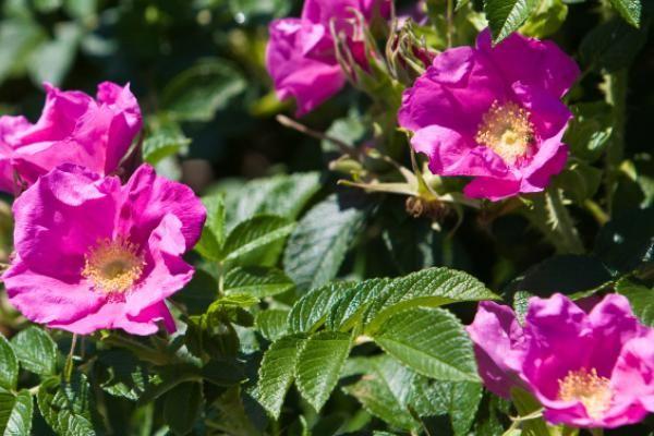 Japanse bottelroos - Rimpelroos    De Rosa rugosa (Japanse bottelroos) is een sterke, wilde rozensoort die uitstekend geschikt is voor het gebruik als haag. De schitterende lichtroze bloemen trekken veel insecten aan. Na de bloei van de Japanse bottelroos verschijnen de rozebottels, die erg in trek zijn bij vogels.
