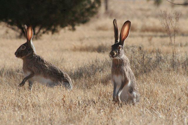 West Texas Jack Rabbit by kodisattlerphotography, via Flickr