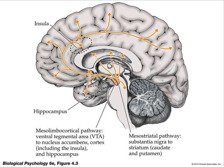 Dopaminergic Pathways