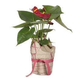 Wrapped Anthurium | Woolworths.co.za