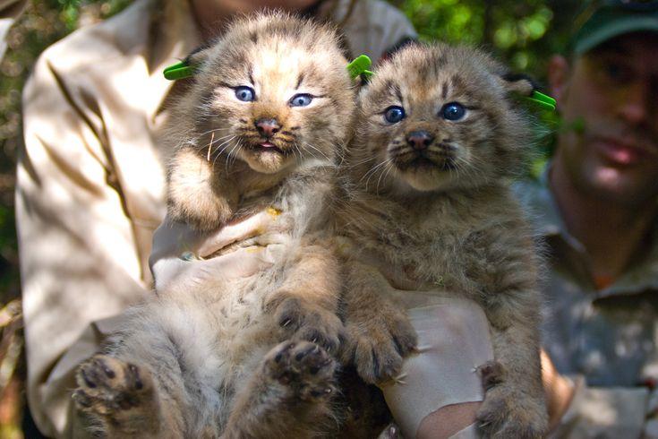 Canada Lynx Kittens Cats are soooo cute!